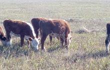 Бычки герефордской породы 140-220 кг