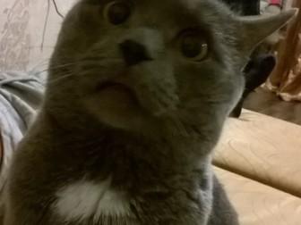 Свежее foto  кот британец отдам даром 36961509 в Уфе