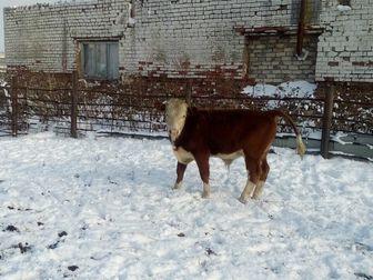 Увидеть фотографию Другие животные Бычки герефорды 37673938 в Уфе