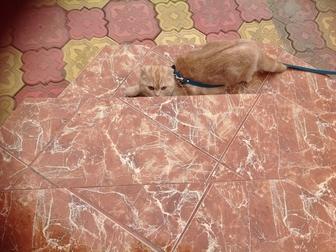 Скачать бесплатно изображение Отдам даром - приму в дар Отдам Даром в Добрые руки Шотландского вислоухого кота 40986691 в Уфе