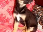 Фотография в   Ждём для красивого щенка девочки Даны, очень в Улан-Удэ 0
