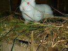 Свежее фотографию Грызуны Бельгийский великан и бараны 33643868 в Улан-Удэ