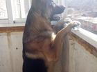 Скачать изображение Вязка собак Молодой кабель ищет подругу 64589485 в Улан-Удэ