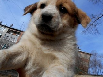 Свежее изображение  Щенки от крупной собаки Белка и Стрелка ищут дом 33778100 в Улан-Удэ