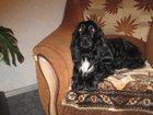 Фото в Собаки и щенки Вязка собак сипотяга ищет и ждет девочку для создания в Ульяновске 0