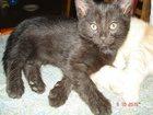 Фотография в Кошки и котята Продажа кошек и котят Знакомьтесь! Черненький малыш. Возраст около в Ульяновске 0