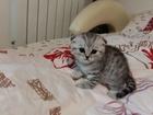 Изображение в   Продам Шотландских котят в Ульяновске 5000