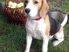 Фотография в Собаки и щенки Вязка собак Предлагается для вязки кобель породы БИГЛЬ. в Тольятти 0