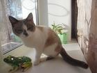 Изображение в Кошки и котята Вязка Кошечке сноу-шу нужен кот, возможно вязка в Усолье-Сибирском 0