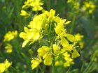 Уникальное фотографию Растения Сидерат Горчица 32767489 в Усть-Илимске