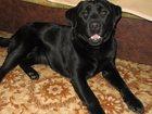 Изображение в Собаки и щенки Продажа собак, щенков Продам щенков Лабрадоров-Ретриверов. Малыши в Великом Новгороде 10000