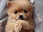 Фотография в Собаки и щенки Продажа собак, щенков Породистые щенки шпица - девочки, без брака в Великом Новгороде 20000