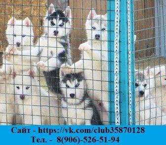 Фотография в Собаки и щенки Продажа собак, щенков Продам чистокровных хасят от 10000 руб! Недорого! в Владимире 0