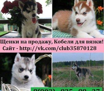 Изображение в Собаки и щенки Продажа собак, щенков Чистокровные щенки хаски по минимальным ценам в Владимире 0