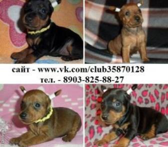 Фотография в Собаки и щенки Продажа собак, щенков Чистокровные щенки карликового пинчера недорого в Владимире 0