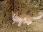 Скачать бесплатно изображение Выставки кошек рыже-белая кошечка ищет хозяина 40233008 в Владивостоке