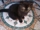 Фотография в Кошки и котята Продажа кошек и котят Прекрасный подарок на 8 МАРТА шоколадно черная в Волгодонске 3000