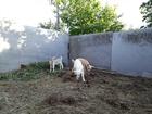 Смотреть изображение Другие животные продаю козу и козочку первый окот 69681138 в Волгодонске