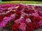 Смотреть фото Растения предлагаю приобрести семена крупноцветковых петуний 32366789 в Волгограде