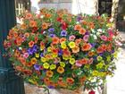 Уникальное foto Растения продаю семена ампельной петунии 32366807 в Волгограде