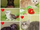 Фотография в Кошки и котята Продажа кошек и котят Котята от чистокровных родителей, Активные, в Волгограде 3500
