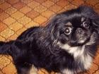 Изображение в Потерянные и Найденные Потерянные 16. 11. 2015 вечером потерялся щенок пекинес, в Волгограде 0