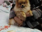 Изображение в Собаки и щенки Продажа собак, щенков Продается щенок померанского шпица, подрощенный, в Волгограде 20000