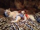 Увидеть foto Вязка собак Девочка чихухахуа ждет длинношерстного принца 37829000 в Рязани