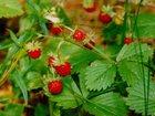 Фотография в Прочее,  разное Разное Красная, сладкая, вкусная, сочная земляника. в Вологде 20
