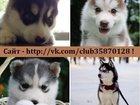 Фото в Собаки и щенки Продажа собак, щенков ХАСКИ породных чистокровных щеночков разных в Вологде 8000