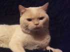 Увидеть фотографию  Британский кот 2000 37754743 в Вологде
