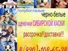 Фотки и картинки Сибирский хаски смотреть в Вологде