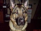 Фотография в Собаки и щенки Вязка собак Немецкая овчарка возраст 1, 8 м, нужен кобель в Вологде 0