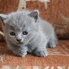 Шотландские котята ищут дом