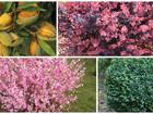 Новое фото  Плодовые саженцы и кустарники 38916807 в Зеленодольске