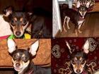 Фото в Потерянные и Найденные Потерянные Пропала собака породы той терьер в районе в Волжском 0