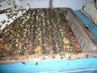 Свежее изображение Другие животные продам пчелосемьи и пчеломаток карники 32427457 в Воронеже