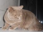 Фото в Кошки и котята Вязка вязка с плюшевым котиком  Молодой , энергичный в Воронеже 500