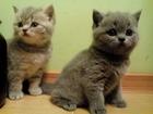 Изображение в Кошки и котята Продажа кошек и котят Продаю котят шотландской породы. Возраст в Воронеже 2000
