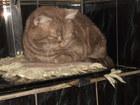 Фотография в Кошки и котята Вязка Красивый опытный котик ждет кошечку в гости в Воронеже 500
