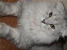 Foto в Кошки и котята Вязка Молодой котик Пушистый активный Очень хочет в Воронеже 500