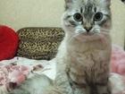 Фото в Кошки и котята Вязка Ищем котика невской маскарадной породы (сибирский в Воронеже 0