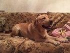 Увидеть изображение Вязка собак Лабрадор ретривер, кобель для вязки 45092645 в Воронеже