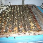 продам пчелосемьи и пчеломаток карники