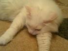 Изображение в Потерянные и Найденные Потерянные Пропала белая пушистая кошка, 20 января 2016 в Воскресенске 0