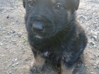 Увидеть foto Продажа собак, щенков щенята даром 39125398 в Воскресенске