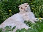 Фото в Кошки и котята Вязка Красивый котик приглашает кошечку! Порода: в ВышнемВолочке 2500