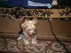 Изображение в Собаки и щенки Продажа собак, щенков йоркширский терьер мальчик миник ищет девочку в Заинске 0
