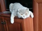 Уникальное фото  Кот молодой вислоухий ищет кошку 40182542 в Зеленограде