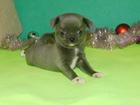 Цветные щенки чихуахуа, мальчики и девочки